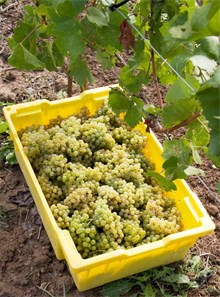 Freshly picked Muscadet grapes in a yellow container on the vineyard ground