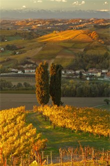 Barolo Vineyard in Piedmont