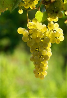 Sauvignon Blanc Grape Sun