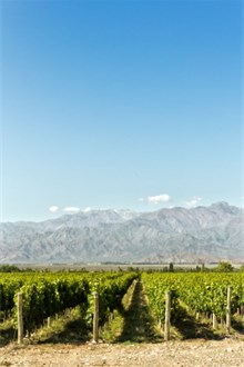 Vineyard in Argentina overlooking mountains on a sunny day
