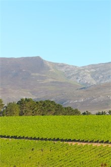 Western Cape Vineyard under the Mountain in the Sun
