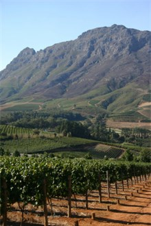 South African Vineyard with Mountain on the Back