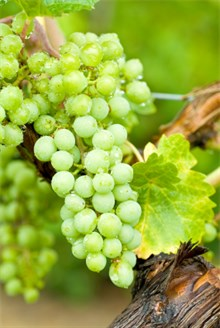Chardonnay grape on the vine