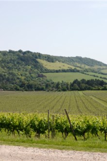 English vineyard in the sun by countryside road