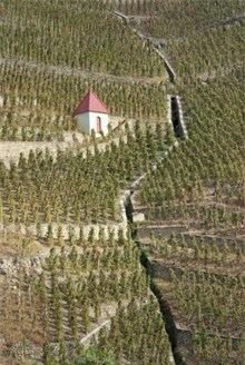 Wine vineyard in Chateauneuf-du-Pape
