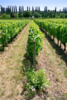 Loire Valley vineyeard view on the row of vines with cypressess in the background