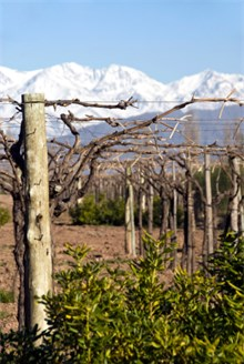 Malbec Wine Grape Vineyard in Argentina