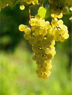 New Zealand Sauvignon Blanc Grape