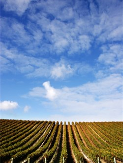 New Zealand Vineyard uphill under intensely blue slightly cloudy sky